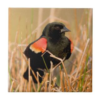 Männlicher Gesang der rotgeflügelten Amsel Fliese