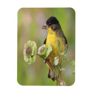 Männlicher Goldfinch Magnet