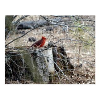 Männlicher Kardinal auf Baum-Stumpf Postkarte