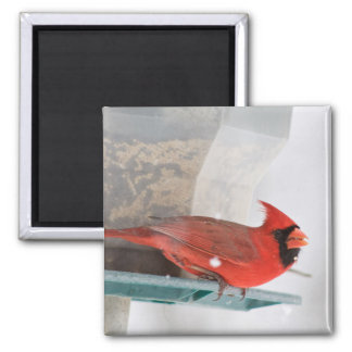 Männlicher Kardinals-Magnet Quadratischer Magnet