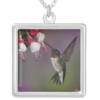 Männlicher karminroter throated Kolibri, Versilberte Kette
