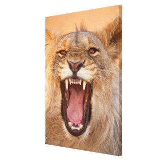 Männlicher knurrender Löwe Leinwanddruck