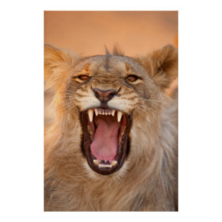 Männlicher knurrender Löwe Poster