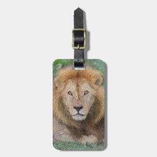 Männlicher Löwe, der sich hinlegt Gepäckanhänger