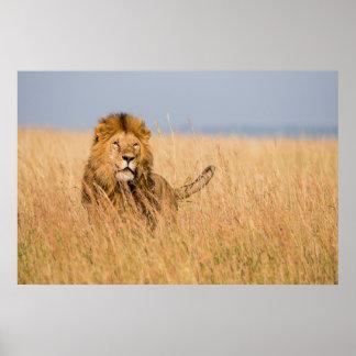 Männlicher Löwe versteckt im Gras Poster