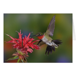 Männlicher Rubin-throated Kolibri, der an füttert Karte