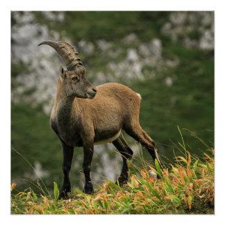 Männlicher wilder alpiner, Caprasteinbock oder Poster