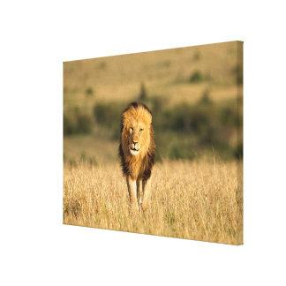 Männliches Löwe-Gehen Leinwanddruck