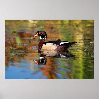 Männliches Schwimmen der hölzernen Ente, Poster