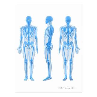 Männliches Skelett Postkarte