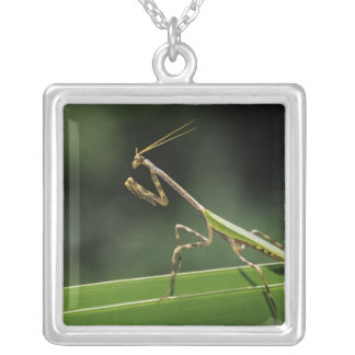 Mantid, Mantidae, Erwachsener auf Palmwedel, das Versilberte Kette