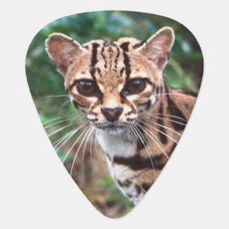 Margay, Leopardus wiedi, gebürtig nach Mexiko in Plektron