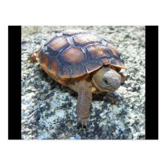 Marianne das Keya:) (sehr junge Wüstenschildkröte) Postkarte