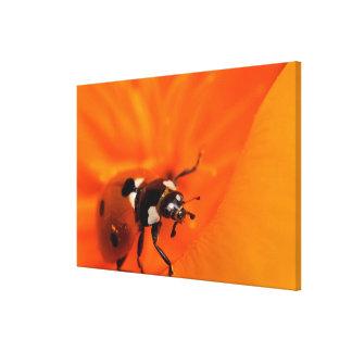 Marienkäfer auf einer Mohnblume Leinwanddruck