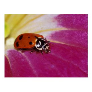 Marienkäfer-Käfer. (Hippodamia convergens) Postkarten
