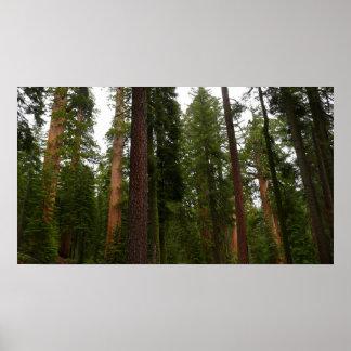 Mariposa Waldung in Yosemite Nationalpark Poster