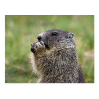 Marmota Marmota Postkarte