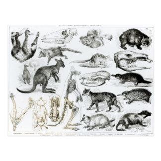 Marsupialia, Monetremata, Edentata Postkarte