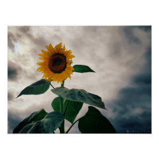 Marymoor Park-Sonnenblume Poster