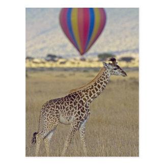 Masai-Giraffe (Giraffa camelopardalis Postkarten