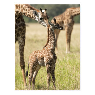 Masaigiraffen, Giraffa camelopardalis 2 Postkarte