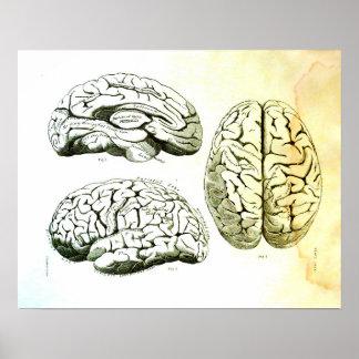 Medizinische Illustration des menschlichen Gehirns Poster