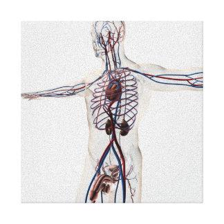 Medizinische Illustration: Männliches Galerie Faltleinwand