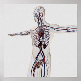 Medizinische Illustration: Männliches Poster
