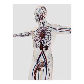 Medizinische Illustration: Männliches Postkarten