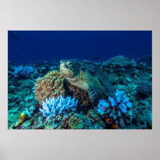 Meeresschildkröte auf dem Great Barrier Reef Poster