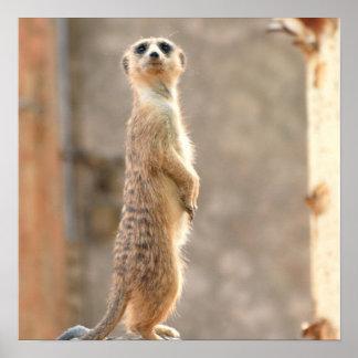 Meerkat am Aufmerksamkeits-Plakat