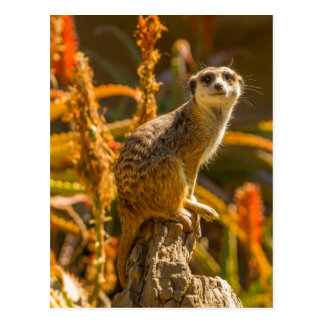 Meerkat auf Stumpf Postkarte