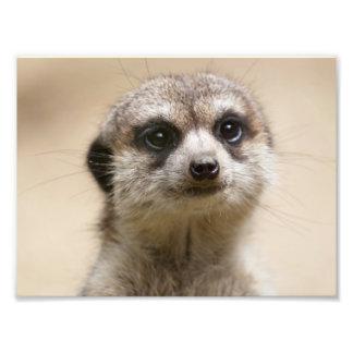 Meerkat Photo