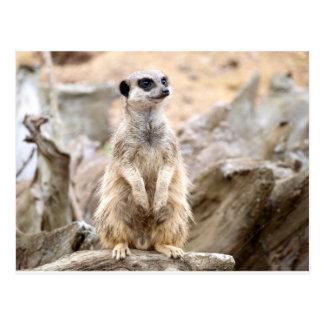 Meerkat stehendes hohes postkarte