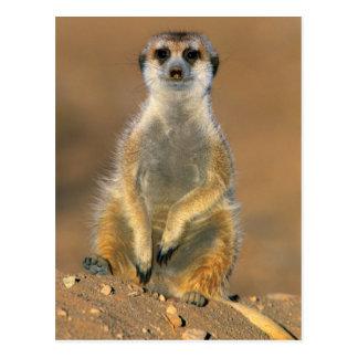 Meerkat (Suricata Suricatta) Wachposten an der Postkarte