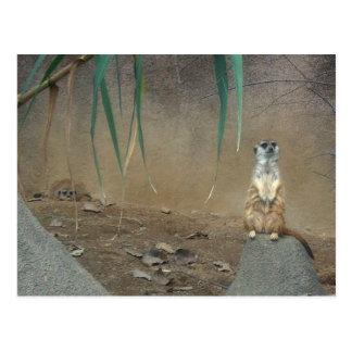 Meerkats Postkarte