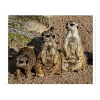 Meerkats Postkarten