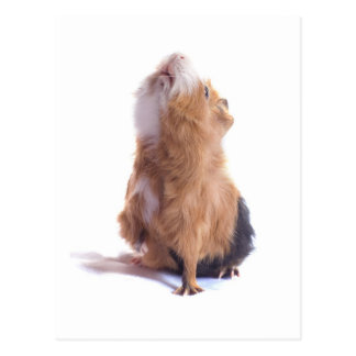 Meerschweinchen, Postkarte