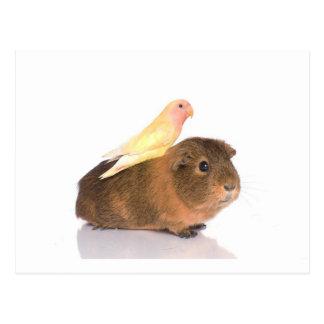 Meerschweinchen und gelber Vogel Postkarten