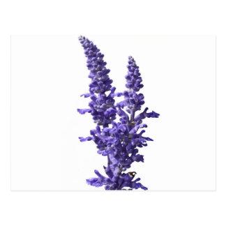Mehl des blauen Salbeis in der Blüte im Frühjahr Postkarte