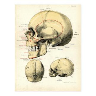 Menschliche Anatomie - der Schädel Postkarte