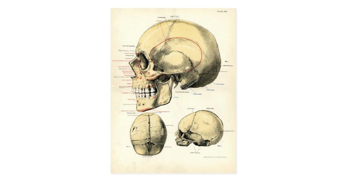 Menschliche Anatomie - der Schädel Postkarte | Zazzle