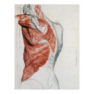 Menschliche Anatomie; Muskeln des Torsos und der Postkarte