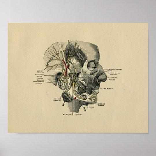 Menschliche Gesichtsnerven-Anatomie 1902 Vintager Poster | Zazzle