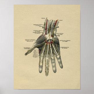 Menschliche Handanatomie 1902 Vintager Druck Poster