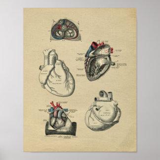 Menschliche Herz-Anatomie 1902 Vintager Druck Poster