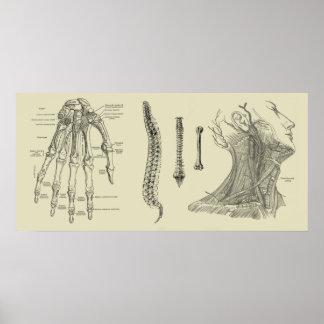 Menschlicher Anatomie-Druck Poster