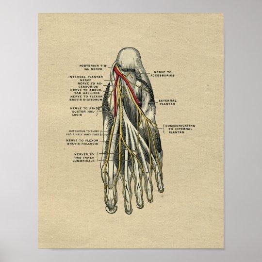 Menschlicher Fuß-Anatomie 1902 Vintager Druck Poster | Zazzle