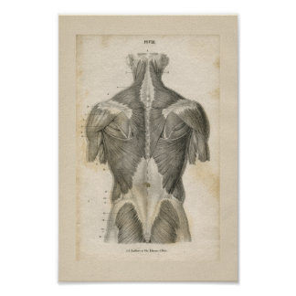 Menschlicher Muskel-Vintager Anatomie-Druck Poster