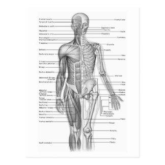 Menschliches Anatomie-Diagramm Postkarte